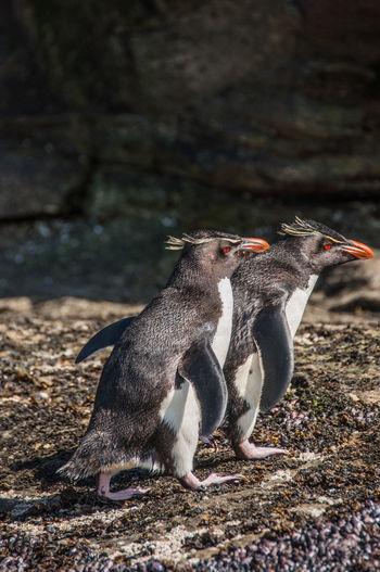 Wildlife Antarctica Penguin Nature Rockhopper Antarctica. Rockhopper penguins. Look like gangsters.