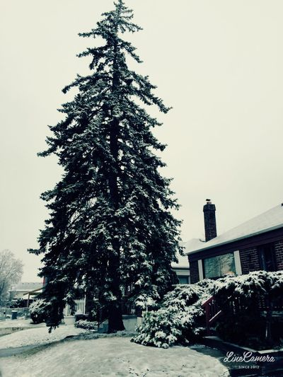Christmas tree in winter