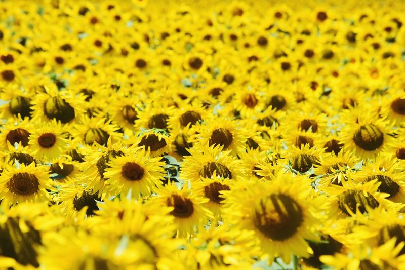 Yellow Landscape Yellow Flower Sunflower Flower Flowering Plant Yellow Freshness Beauty In Nature Fragility Flower Head Growth Plant Selective Focus Backgrounds