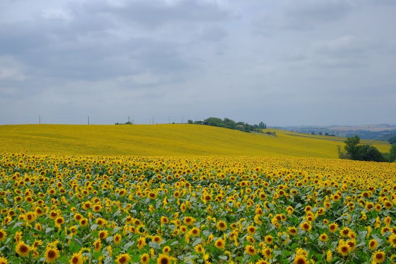 Sunflower farm against sky