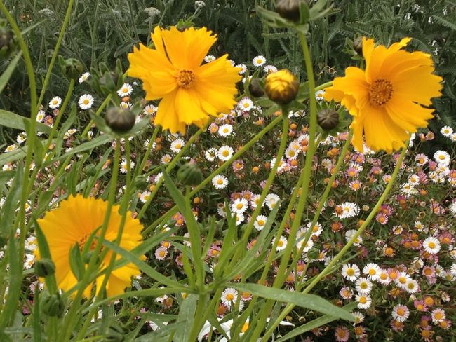 Coreopsis triple with grass and daisies. Beauty In Nature Blooming Blossom Botany Close-up Coreopsis Depth Of Field Flower Flower Head Focus On Foreground Fragility Freshness Growing Growth Nature No People Petal Selective Focus Springtime Yellow