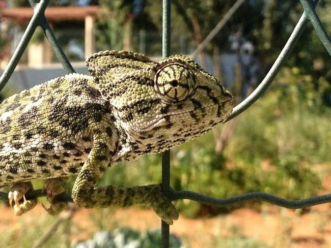 Algarve Cameleon Camaleão Animals