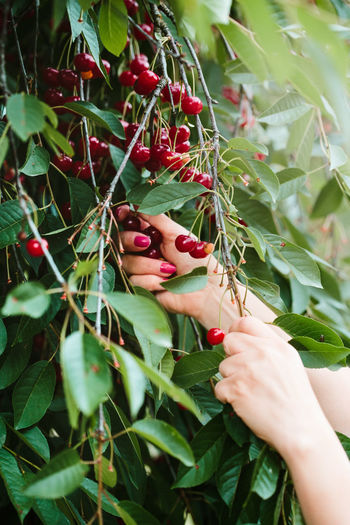 Woman picking cherry berries from tree. Woman is working in the garden, she is picking ripe cherries Leaf Plant Day Food Hand Adult Freshness Growth Fruit Cherry Cherries Berry Berries Summer Pick Picking Harvest Harvesting Farm Garden Tree Ripe Healthy Organic
