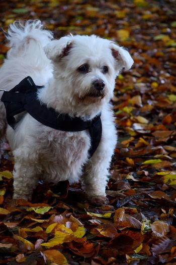 Portrait of dog lying on ground during autumn