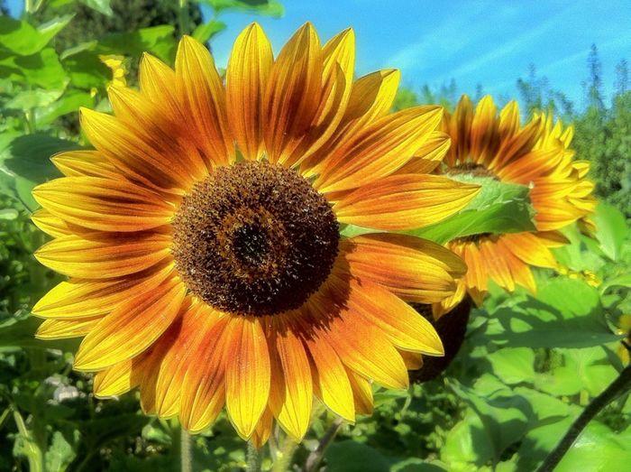 Sunflower Flowerpower Flowerporn EyeEm Best Shots Nature On Your Doorstep Plants Flowers Hamburg Jopesfotos - Nature