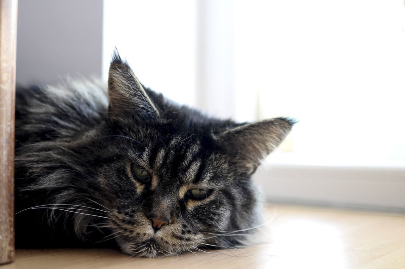 Not listening Animal Eye Animal Head  Animal Themes At Home Cat Close-up Curiosity Day Domestic Animals Domestic Cat Feline Focus On Foreground Growth Grumpy Indoors  Maine Coon Mammal One Animal Pets Relaxation Resting S Tired Whisker Zoology