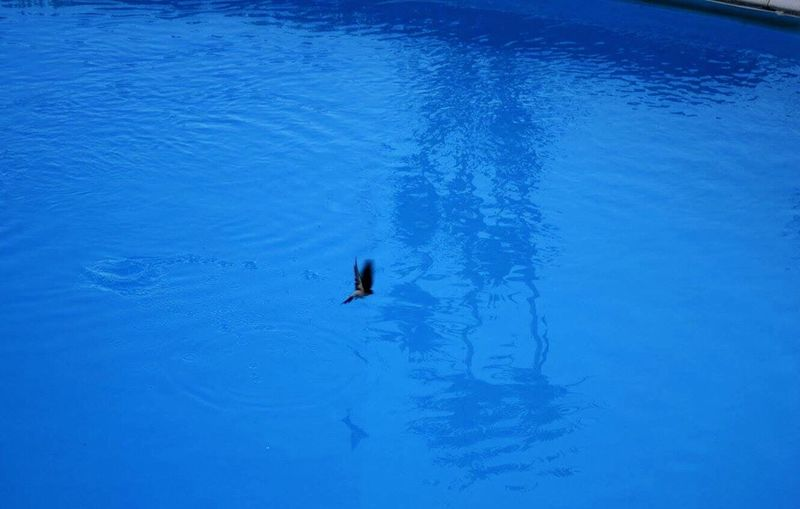 Swallow having a drink in the hotel pool. Swallow Swallow Drinking Bird Drinking Hotel Pool Blue Colour Palette