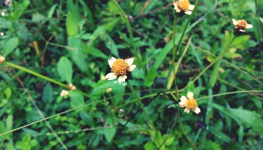 Plants And Flowers Insect Photography Weeds Are Beautiful Too Small Flowers White Flower Four Flowers Five Petal Flower