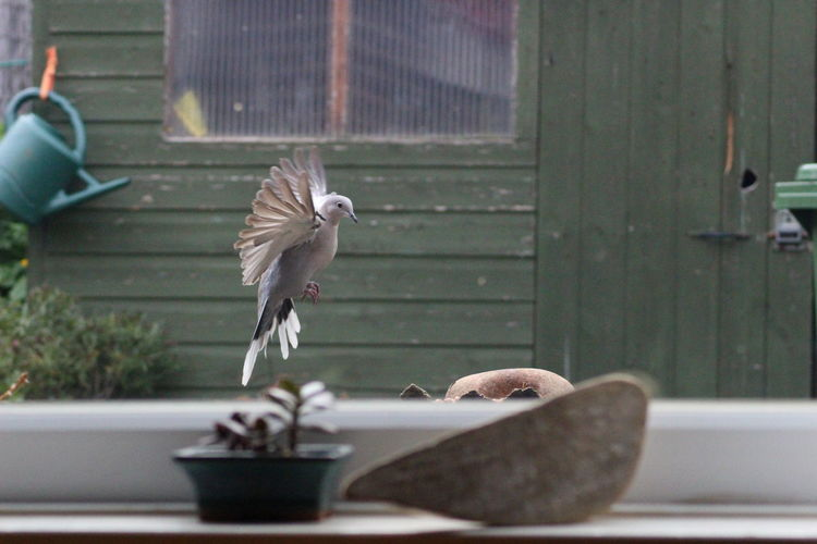 Dove flying above footpath seen through window