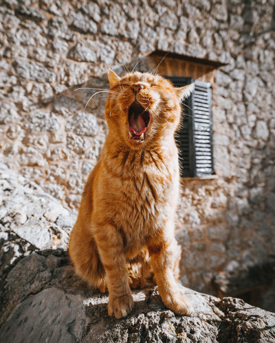 lazy days... /// IG @hrrbhn Cat Feline Tired Yawning Yawning Cat Motivation Animal Themes SPAIN España Valldemossa Mallorca Travel Street Urban Skyline Cute Stray Cat