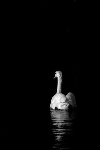 White swan on a