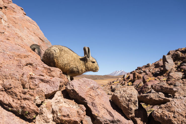 Viscacha. EyeEm Nature Lover Nature Animal Animal Themes Animal Wildlife Animals In The Wild Beauty In Nature Clear Sky Copy Space Day Herbivorous Mammal Nature Nature_collection No People One Animal Outdoors Rock Rock - Object Rock Formation Sky Solid Sunlight Vertebrate