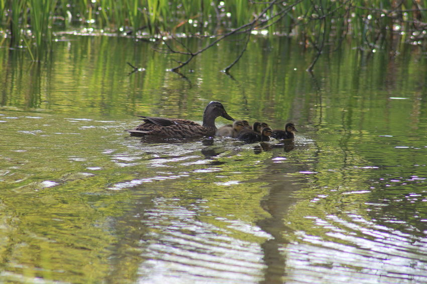 Cute Baby Ducks Check This Out Hello World Enjoying Life So Tiny Proud Mommy Love Bestoftheday Water Sweet Nature Nofilter Nature Photography Nature_collection Kuikens Duck Park Spring New Life