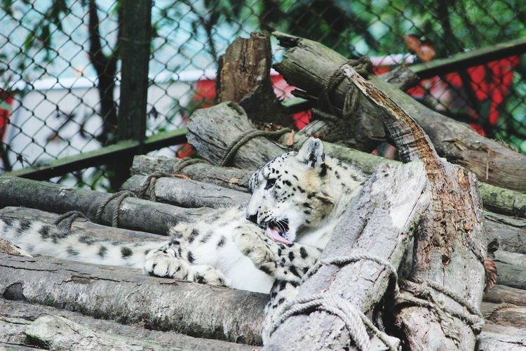 White tiger resting on wood logs at zoo