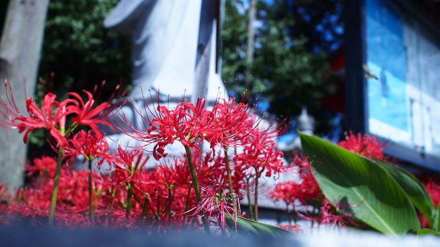 寺の傍らで Spiderlily Flowerporn Red M.zuiko Streamzoofamily