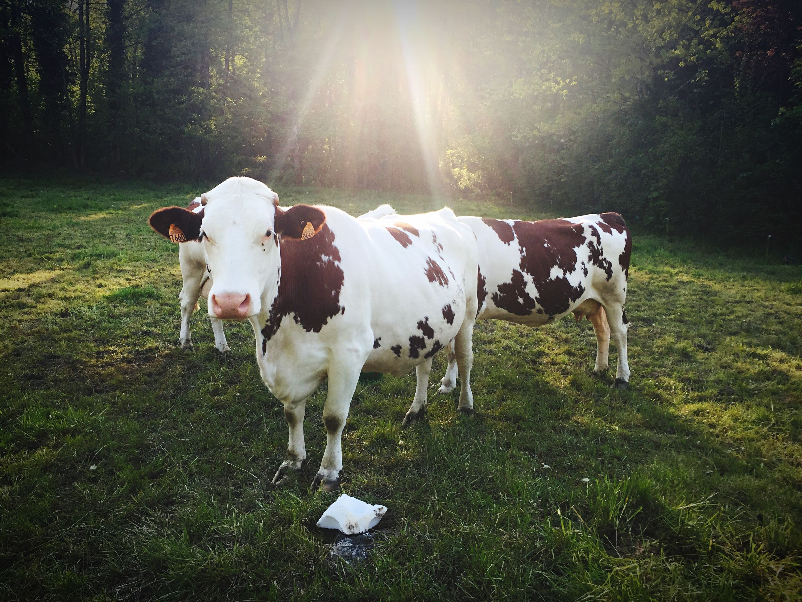 domestic animals, animal themes, grass, mammal, field, livestock, grassy, white color, sunlight, one animal, standing, two animals, nature, cow, full length, pets, horse, day, no people, outdoors