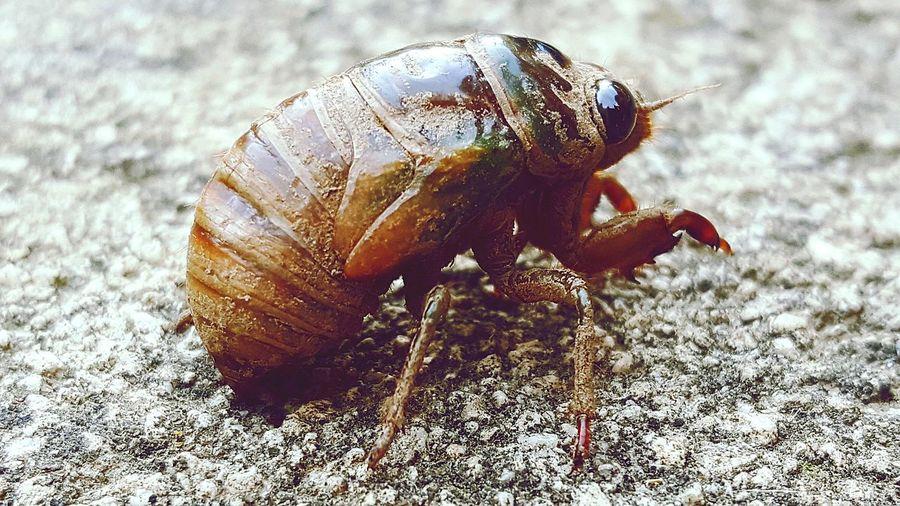 Cicada ready to