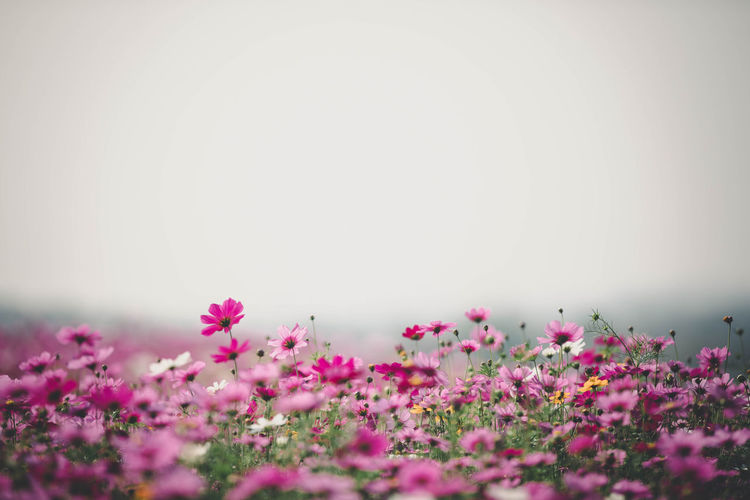 Cosmos Flower Beauty In Nature Close-up Copy Space Day Flower Flower Head Flowering Plant Fragility Freshness Growth Land Nature No People Outdoors Petal Pink Color Plant Purple Selective Focus Tranquil Scene Tranquility Vulnerability