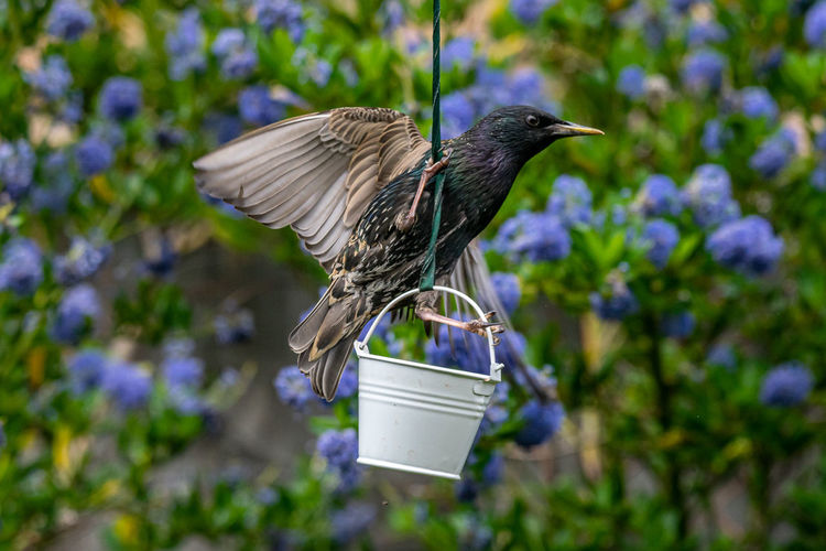 Wild starling, sturnus vulgaris, perched on a garden suet feeder