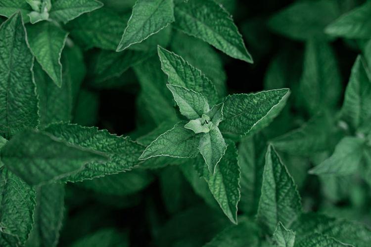 Green mint growing in the garden. herbal tea ingredient. alternative medicine and healing herbs.