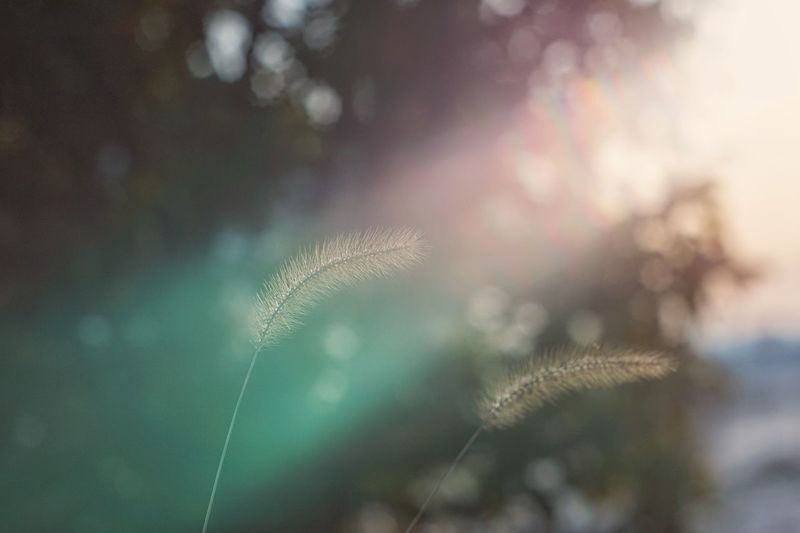 Capture The Moment Foxtail Depth Of Field Rays Of Light Sunbeam Flare Bokeh Beauty In Nature Nature Fine Art Still Life Fragility Tranquility Close-up Sunlight Light And Shadow Selective Focus Macro Macro Fantasy Landscapes Full Frame Detail Helios EyeEm Best Shots 16_12 Art Is Everywhere