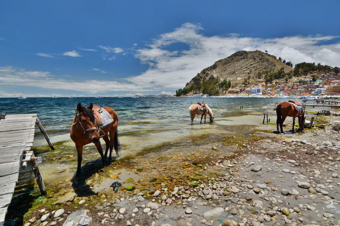 Copacabana, on the shore of Titicaca lake. Bolivia Altitude Andes Mountains Animal Animal Themes Bolivia Copacabana Bolivia Domestic Animals Eyeem Bolivia Horse Horses Lake Titicaca Lakeshore Lakeside Landscape Mammal Mountain Nature Outdoors Scenic Landscapes Scenics Titicaca Titicaca Lake Miles Away