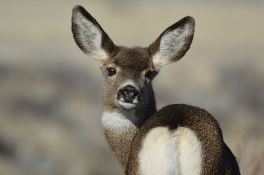 Deer Deer Sighting Animal Themes Animal Wildlife Animals In The Wild Close Up Animal Close Up Nature Close Up Wildlife Close-up Day Deer In The Wild Fawn Focus On Foreground Looking At Camera Mammal Nature No People One Animal Outdoors Portrait