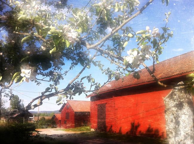 Blue skies, apple blossom and red barns, that's my kingdom ❤ Dreaming In My Garden I Love Trees