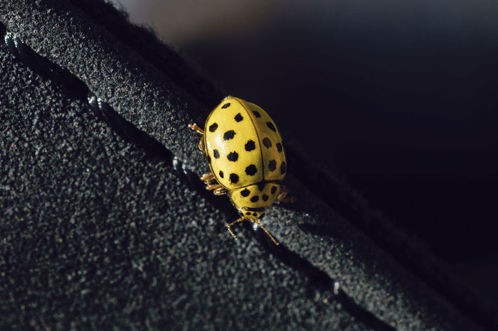 A tiny yellow ladybug landed on my girlfriend yesterday 😂 (here's the unedited photo: https://puu.sh/vi7EX/35c1e42bc0.jpg ) Ladybug🐞 Ladybug Ladybird Ladybugs Ladybug Collection Day Animal Themes EyeEm Nature Lover Eye4photography  Insect Insects  Insect Photography Bug Bugs Bugs Life Macro Close-up Macro Photography Outdoors Nature Nature_collection Beauty In Nature Yellow Yellow Color Spring