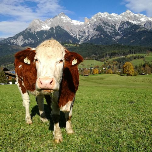Austria Mountain Sunny Day Bestplace On Earth Cows Of Eyeem Urlaubzuhause ☀🍃