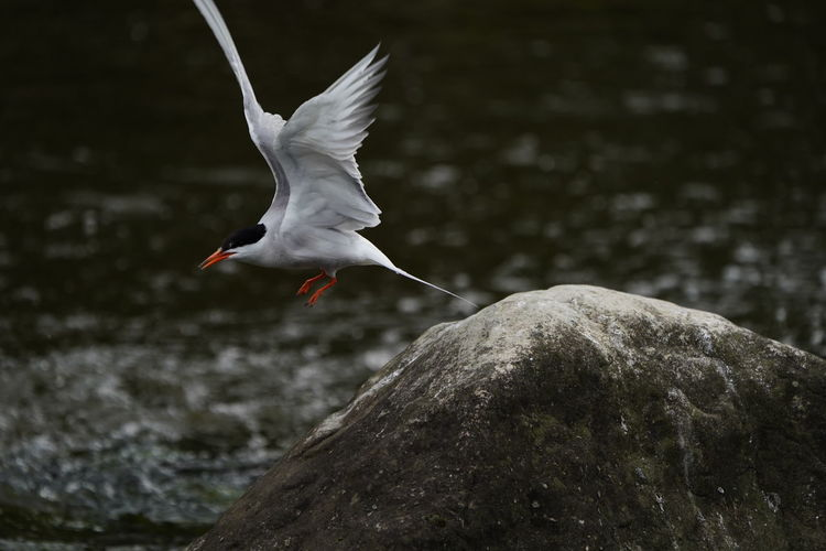 Bird taking off on rock at river