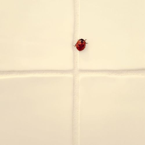 Insect Ladybug Animals Animal In Human World Insect On The Wall White Wall White Tiles Red On White