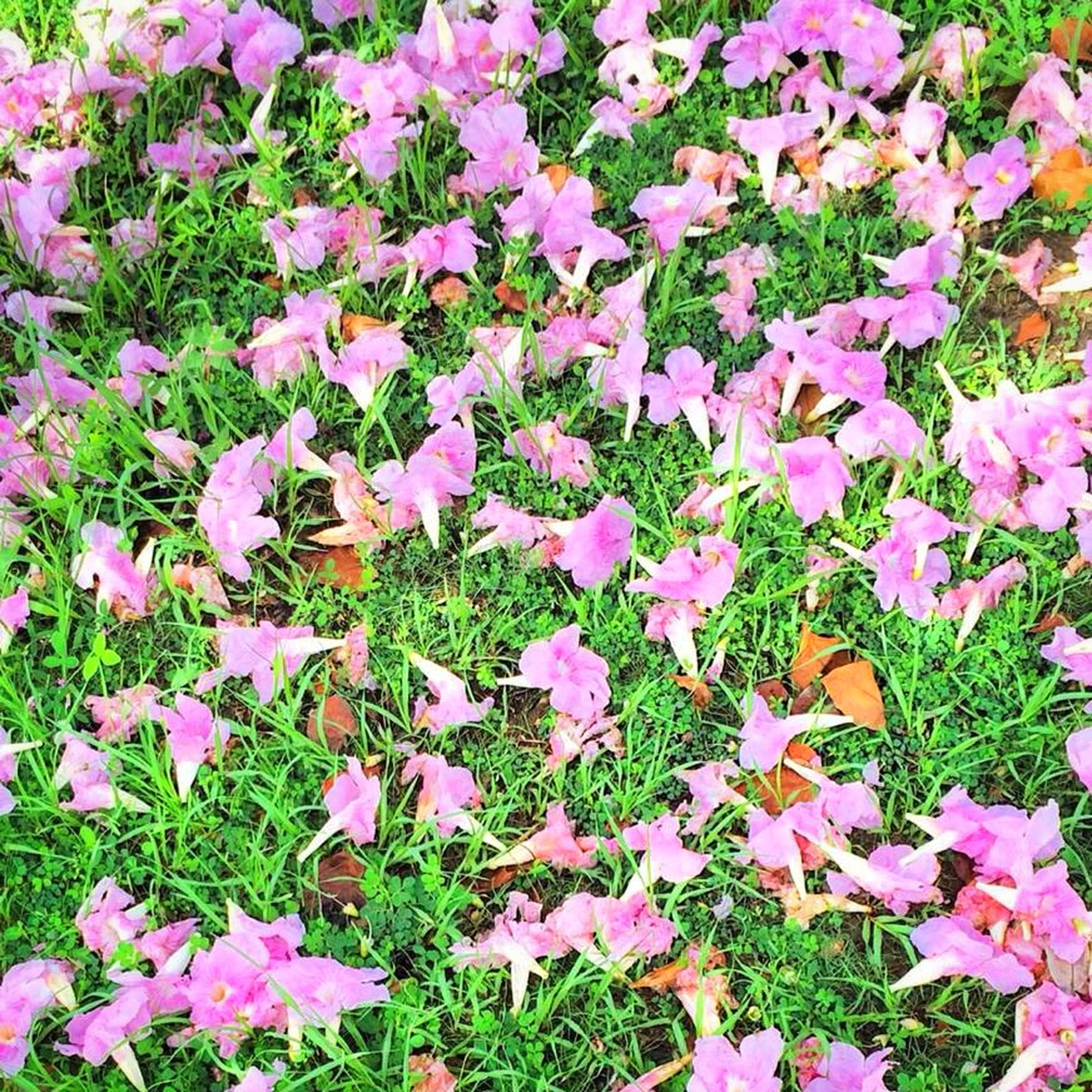 flower, growth, freshness, beauty in nature, fragility, nature, field, high angle view, plant, full frame, abundance, leaf, petal, backgrounds, grass, blooming, green color, pink color, tranquility, season