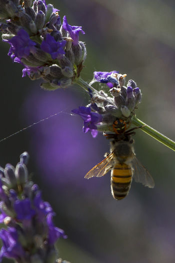 Lunch is served Animal Themes Animals In The Wild Beauty In Nature Bee Close-up Day Flower Flower Head Fragility Freshness Growth Insect Nature No People Outdoors Petal Plant Pollination Predator And Prey Purple Spider