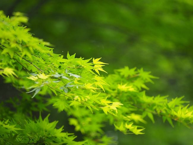 Green Green Green Green!  Walking Around お写ん歩 Snapshot Taking Photos Nature_collection Nature Photography EyeEm Best Shots - Nature EyeEm Nature Lover Hugging A Tree The Purist (no Edit, No Filter) カエデ Maple