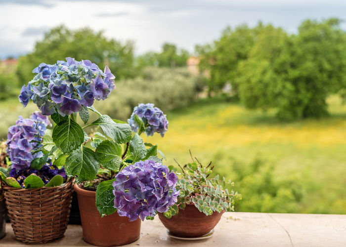 Plant Flower Growth Flowering Plant Freshness Beauty In Nature Nature Basket Container Vulnerability  No People Fragility Potted Plant Focus On Foreground Day Close-up Purple Leaf Green Color Plant Part Outdoors Flower Pot Flower Head Italy Italia Italy❤️ Italy🇮🇹 Beauty In Nature Beauty Beautiful Architecture Arch Architecture_collection Architectural Feature The Creative - 2019 EyeEm Awards