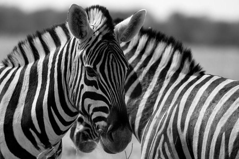 Zebra Striped Animals In The Wild Animal Wildlife Outdoors Namibia Canon Safari Nature EyeEmNewHere
