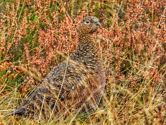 Nature No People Grouse Hen Beauty In Nature Moorland