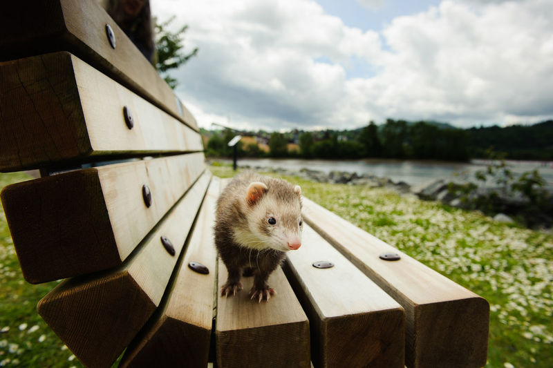 Close-up of ferret on wooden bench at field against cloudy sky