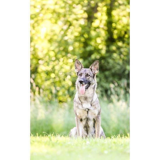My German Shepherd Kika! Sunlight Dog Workingdog Germanshepherd Copyright© Outdoors Beauty Nature Pets Portrait
