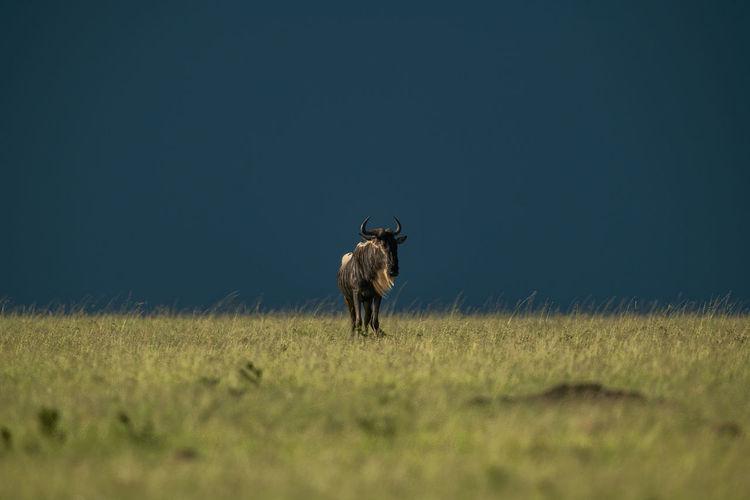 Blue wildebeest stands on horizon eyeing camera