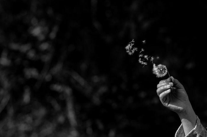 Beauty In Nature Black & White Black And White Blackandwhite Blowball Blumen Close-up Dandelion Dandelion Seed Day Flower Focus On Foreground Fragility Hawkbit Holding Human Body Part Human Hand Löwenzahn Nature One Person Outdoors Past Pusteblume Pusteblumen Schwarzweiß