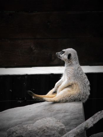 Animal Themes Animals In Captivity Floppy FUNNY ANIMALS Looking Away Loose Meerkat Nature No People One Animal Relaxation Resting Sitting Wildlife