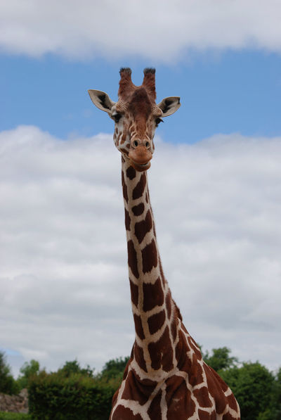 Smiling for the camera Animal Markings Animal Themes Beauty In Nature Close-up Cloud - Sky Day Focus On Foreground Giraffe Looking At Camera Mammal Nature No People One Animal Outdoors Portrait Safari Animals Sky
