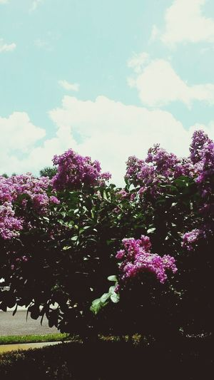 Vibrant purple flowers against the beautiful blue cloudy sky Sky Flowers Vibrant Taking Photos