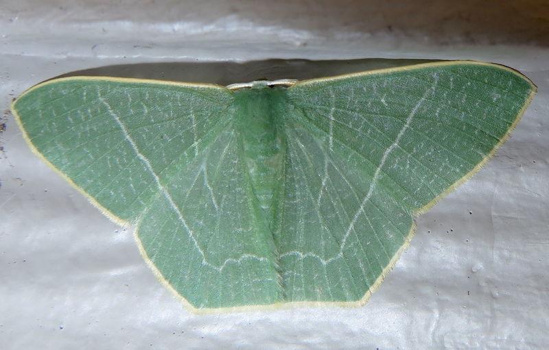 Filipino Moths Geometrid Moth Macro Photography Pelagodes Sp. The Philippines Green Glory Macro Moths Yellow Fringed Beauty