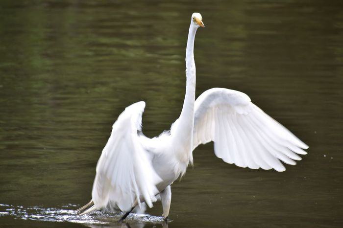 Bird White Color Animal Themes Animals In The Wild Lake Swan Animal Wildlife One Animal Water Spread Wings Nature Water Bird Day No People Beak Great Egret Outdoors Beauty In Nature Close-up Swimming GreatEgret Egret Bird Photography Birds Central Park