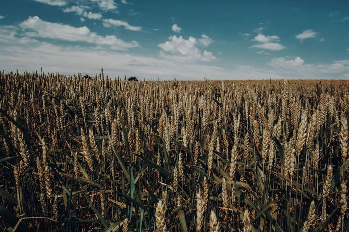 Wheat fields Fuji Growth Agriculture Field Sky Crop  Landscape Nature Tranquility No People Cereal Plant Rural Scene Beauty In Nature Day Outdoors