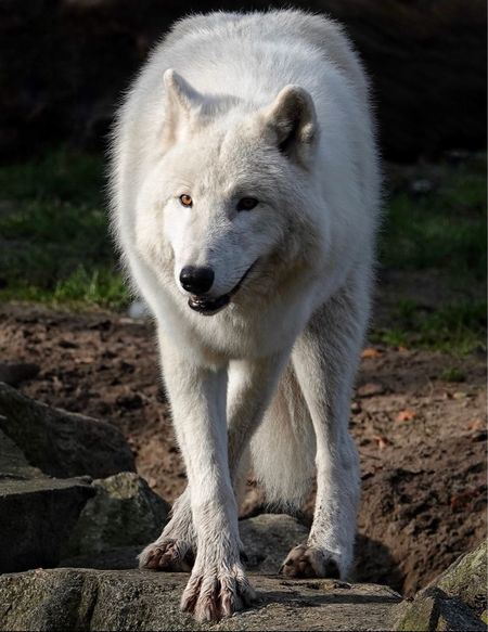 Polar Wolf One Animal Mammal Animals In The Wild Animal Wildlife Animal Themes Nature No People Outdoors