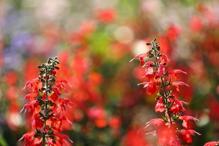 어릴적엔 많이도 꿀 빨아먹었지.. - 사루비아 . . #하루한컷 #실비아 #사루비아 #요즘은못먹겠어 #5DMARK4 #새아빠백통 #EF70200F28LIIISUSM Flower Red Multi Colored Flower Head Autumn Prickly Pear Cactus Close-up Plant